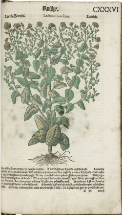 hand-colored plant in early modern book.jpg